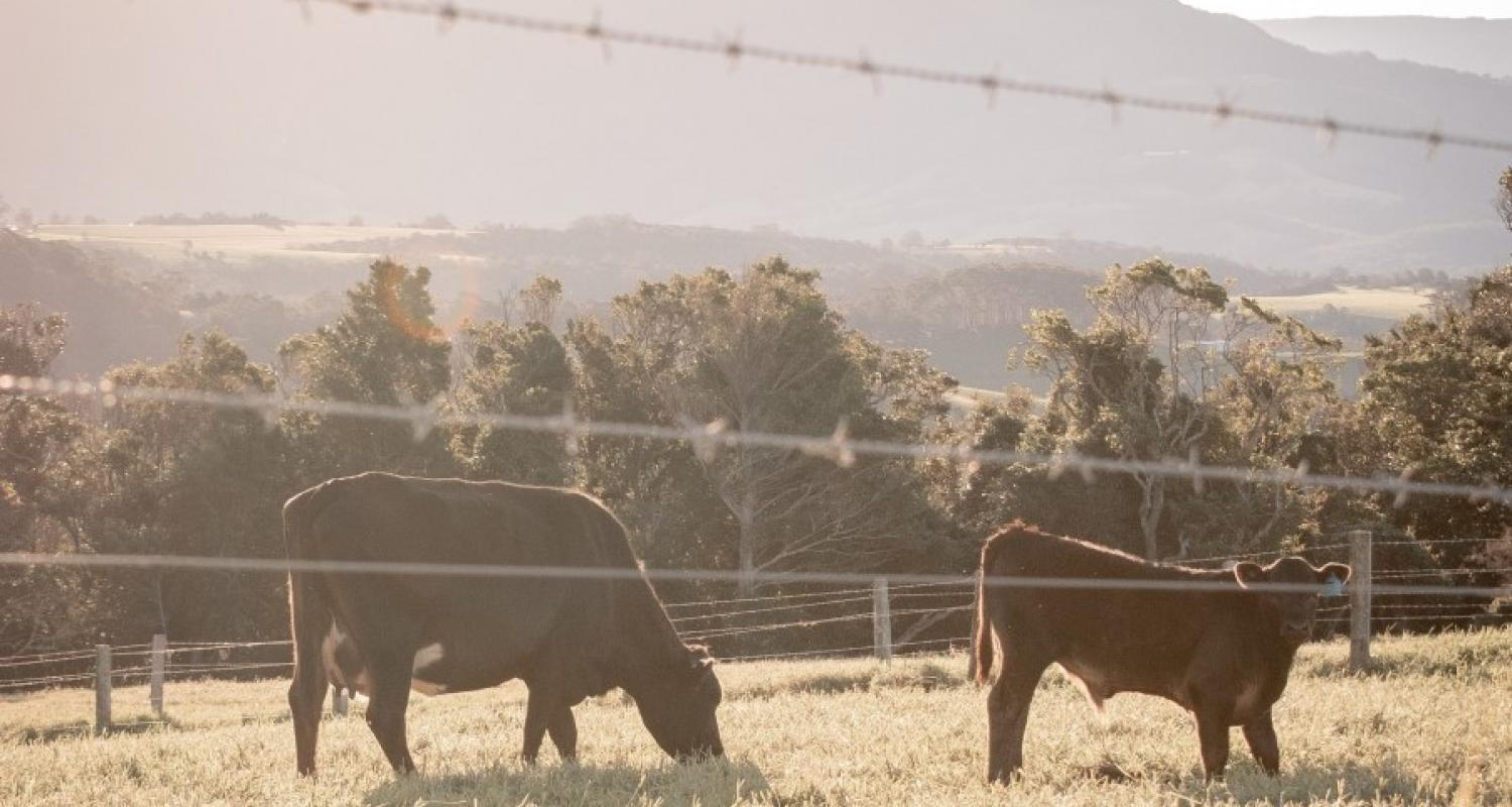 Cows at sunset in rural Kiama, NSW, Australia